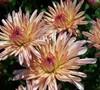 Staviski Orange Chrysanthemum