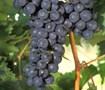 Picture of Fredonia Grape