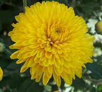 Celino Yellow Chrysanthemum Picture
