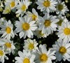 Papiro White Chrysanthemum