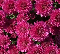 Galatino Chrysanthemum Picture