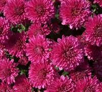 Galatino Chrysanthemum Picture