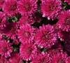 Galatino Chrysanthemum