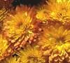Sapiro Chrysanthemum