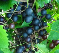 Southland Muscadine Picture