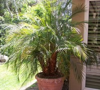 Pygmy Palm Picture