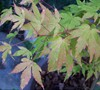 Coral Bark Japanese Maple