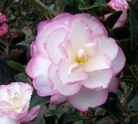 Leslie Ann Camellia Sasanqua Picture