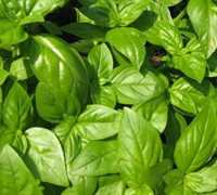 Sweet Basil Picture