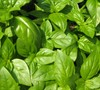 Sweet Basil