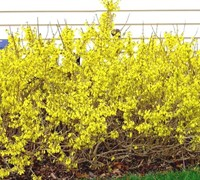 Golden Peep Forsythia Picture