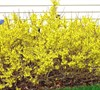 Golden Peep Forsythia