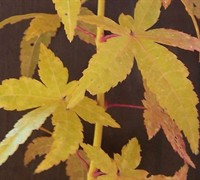 Bihou Japanese Maple Picture