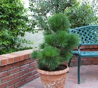 Japanese Black Pine Picture