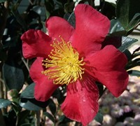 Yuletide Camellia Picture