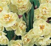 Cheerfulness Double Daffodil