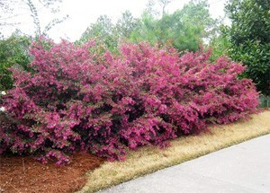 About Loropetalum