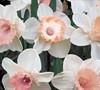 Salome Daffodil