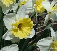 Ice Follies Daffodil Picture