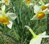 Flower Record Daffodil