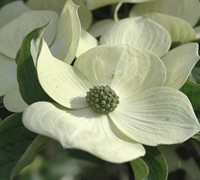 Celestial Dogwood Picture