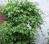 Pink Bower Vine