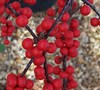 Winter Red Holly