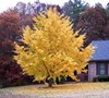 Ginkgo Tree Picture