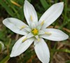 Ornithogalum Umbellatum