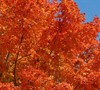 Harvest Moon Southern Sugar Maple