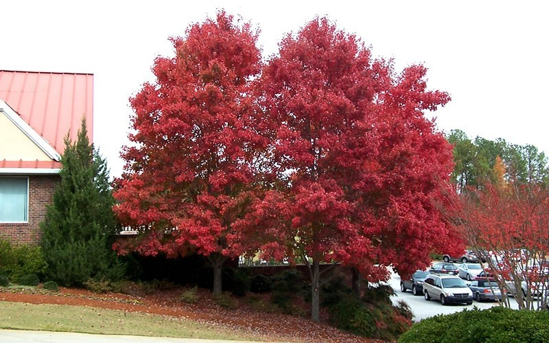 Autumn Blaze Maple Picture