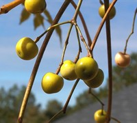 Chinaberry Tree Picture