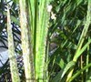 Picture about Why Is A Frond Dying On Dwarf Pygmy Date Palm
