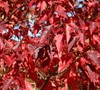 Red November Amur Maple