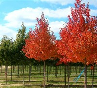 Redpointe Red Maple Picture