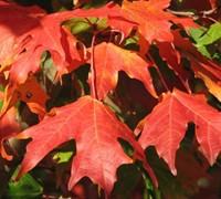Autumn Splendor Caddo Sugar Maple Picture