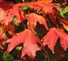 Autumn Splendor Caddo Sugar Maple