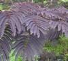 Purple-Leaf Mimosa Tree