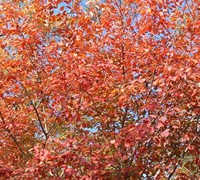 Autumn Brilliance Serviceberry Picture