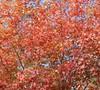 Autumn Brilliance Serviceberry