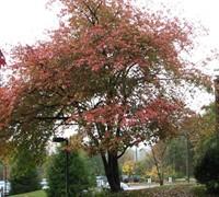 Autumn Brilliance Serviceberry Picture