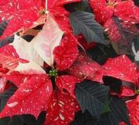 Jingle Bells Poinsettia Picture