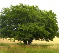 Upright european hornbeam trees - Upright trees for small spaces concept ...