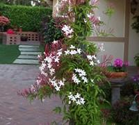 Pink/White Jasmine Picture
