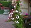 Jasminum polyanthus