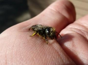 Mason bee on hand
