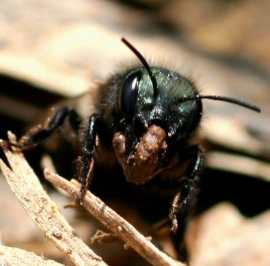 Mason bee carrying mud by Anna Howell