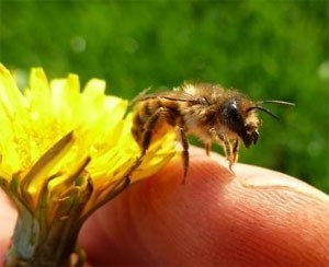 The gentle Mason Bees don't sting!