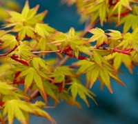 Calico Japanese Maple Picture