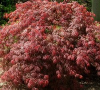 Orangeola Japanese Maple Picture